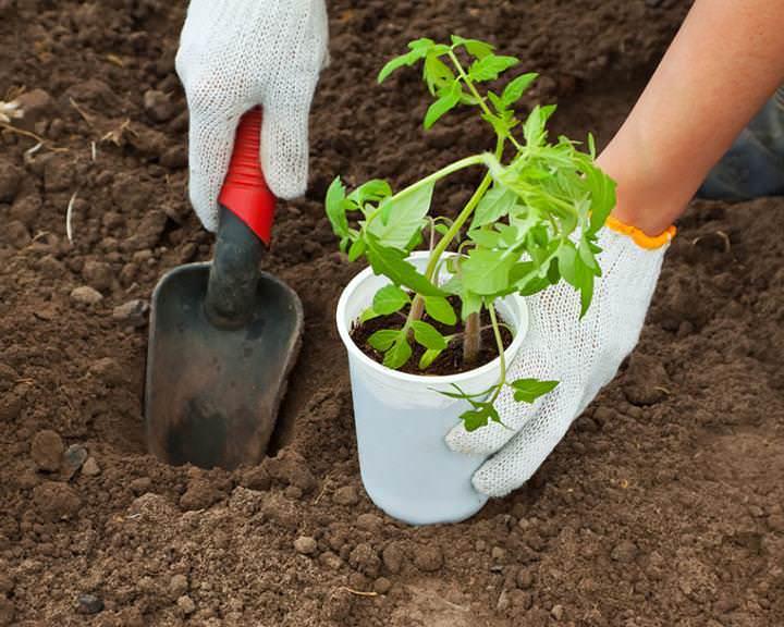 В конце мая или начале июня можно приступать к высаживанию рассады в теплицу
